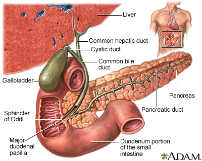 the liver digestive function